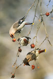 Birds funny waxwings eating apples in the Park sitting on a bran stock photos