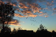 Birds fying back to nest. With beautiful sunset, birds flying back to a big tree, with lots of nest Royalty Free Stock Photography