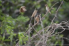 Birds. Gambia Africa birdwatching wildlife Royalty Free Stock Photo
