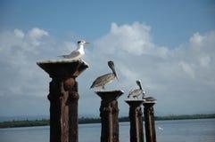 Birds gathering. Tropical birds gathering at Samana Bay (Dominicana Stock Image