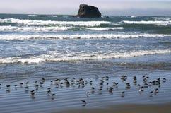 Birds gathering on beach shoreline. Shorebirds gather on the beach stock photography