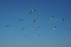 Birds gliding on clear sky. Group of birds flying in row on clear sky Royalty Free Stock Photography