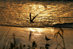 Birds on a golden beach at day. Birds on a beach bathed in golden light at dawn Stock Images