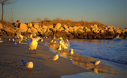 Birds on golden hour beach Royalty Free Stock Images