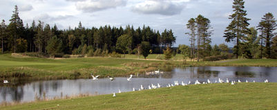 Birds on a golf course stock photos