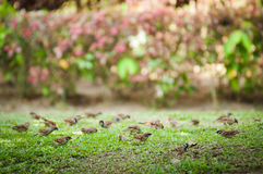 Birds on the Grass. A pack of birds walking on grass Royalty Free Stock Image