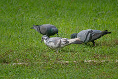 Birds in grass field. Three birds in the grass field Royalty Free Stock Images