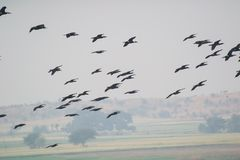 Birds Great Cormorants Flying over the Wetland. Birds Great Cormorants Phalacrocorax carbo Flying over the wetland in foggy morning and hills seen in background royalty free stock photos
