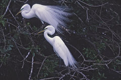 Birds-Great egrets Royalty Free Stock Photos