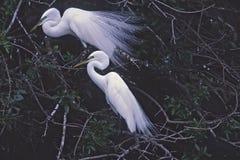 Birds-Great egrets Royalty Free Stock Photos