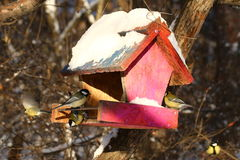Birds. Great tits on birds feeder in forest Royalty Free Stock Images
