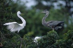 Birds-Greta egret and blue heron Royalty Free Stock Image