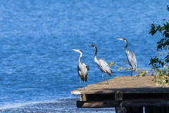 Birds Grey Herons Water Wildlife Royalty Free Stock Photography