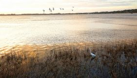 Birds on the ground and in the air at Mount Dora, Florida. Ibis fly overhead as a great egret looks for food just before sunset at Palm Island Park in Mount royalty free stock images