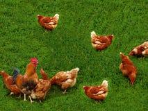 Birds  hens  cock  grass Stock Photo