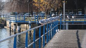 Birds herring gulls on railing on lake in fall. Birds herring gulls on railing on lake Iseo in fall stock video
