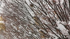 Birds hiding in treetops. While heavy snowing stock footage