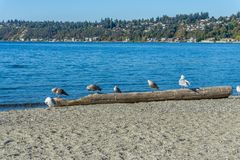 Birds and Homes 2. A veiw of shoreline birds and waterfront homes from Seahurst Beach Park in Burien, Washington royalty free stock photo