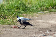 Birds. Hooded crow (Corvus cornix) eating a fish and black-headed gull (Chroicocephalus ridibundus) in the background Stock Photos