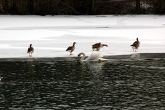 Birds on ice. Gooses on ice with a swan in front of it royalty free stock photos