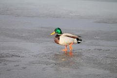 Birds on ice. In winter royalty free stock photo
