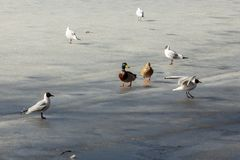 Birds on ice. Drake with duck on spring ice surrounded by white gulls stock photos