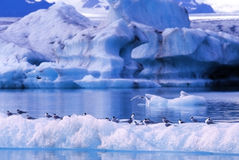 Birds on an iceberg Stock Images