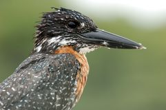 Birds In Africa: Giant Kingfisher Stock Photo