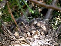 Birds In Nest Stock Images