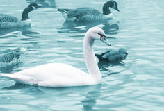 Free Birds In The Pond Stock Photo - 11529190