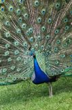 BIRDS - Indian Peafowl / Paw indyjski Stock Image