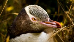 A closeup of a penguin. These birds are so interesting to watch and adorable too Stock Images