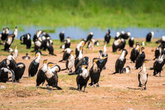 Birds by Jipe Lake, Kenya Royalty Free Stock Photos
