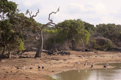 Birds at jungle watering hole. Group of large bird resting at a jungle watering hole Stock Photos