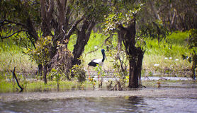 Birds Of Kakadu National Park Royalty Free Stock Photography