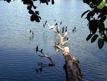 Birds at the Kandy Lake / Sri Lanka Stock Photography
