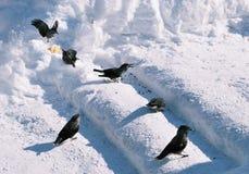 Birds kedrovka on a snow Stock Photos