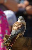 Birds kestrel sparrow Stock Images