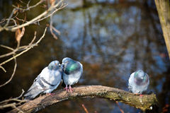 Birds kiss. Pigeons kissing on a branch, France Royalty Free Stock Image