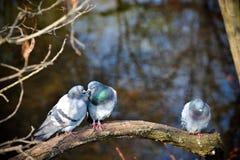 Birds kiss Royalty Free Stock Image
