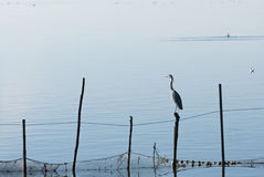Birds in La Albufera, Valencia Royalty Free Stock Photography