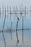 Birds in La Albufera, Valencia Royalty Free Stock Images