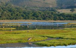 Knysna: birds in the lagoon in the late afternoon, photographed at Knysna lagoon, Garden Route, South Africa. Birds in the lagoon in the late afternoon stock photo