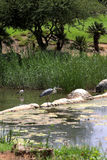 Birds on the lake. Birds walking on rocks on the golf course Stock Photos