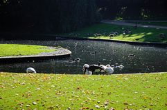 Birds on the lake, Buxton. Stock Images