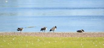 Birds on the lake. Stock Photo