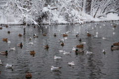 Birds on lake. Mallard Ducks (Anas platyrhynchos)  and seagulls swimming on lake in the winter Stock Photos