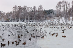 Birds on lake. Mallard Ducks (Anas platyrhynchos)  and seagulls swimming on lake in the winter Royalty Free Stock Photos