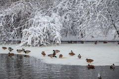 Birds on lake. Mallard Ducks (Anas platyrhynchos) swimming on ice lake in the winter Stock Photo