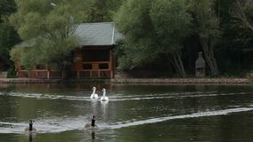 Birds In A Lake. Swans and ducks in a lake stock video